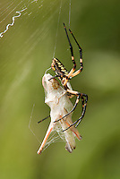 389990012 a wild yellow garden spider argiope aurantia perches in a web with grasshopper prey in hornsby bend travis county texas