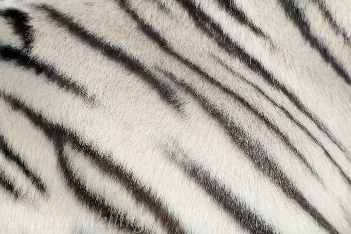 684100004 the striping pattern of a white tiger panthera tigris a wildlife rescue at the wildlife waystation a wildlife rescue and care facility in southern california united states
