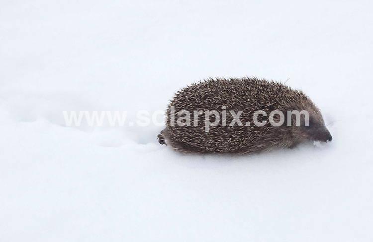 **ALL ROUND PICTURES FROM SOLARPIX.COM**.**NO UK NEWSPAPER PUBLICATION**.**UK MAGAZINE & SUPPLEMENT PUBLICATION ONLY** AND NO PUBLICATION IN AUSTRALIA, FRANCE, GERMANY, ITALY AND SCANDINAVIA** .As more snow hits the UK, animals are pictured in the snow in Buckinghamshire, UK. 6 February 2009..This pic: A A Hedgehog..JOB REF: 8404 SFE       DATE: 06_02_2009.**MUST CREDIT SOLARPIX.COM OR DOUBLE FEE WILL BE CHARGED**.**ONLINE USAGE FEE  GBP 50.00 PER PICTURE - NOTIFICATION OF USAGE TO PHOTO @ SOLARPIX.COM**