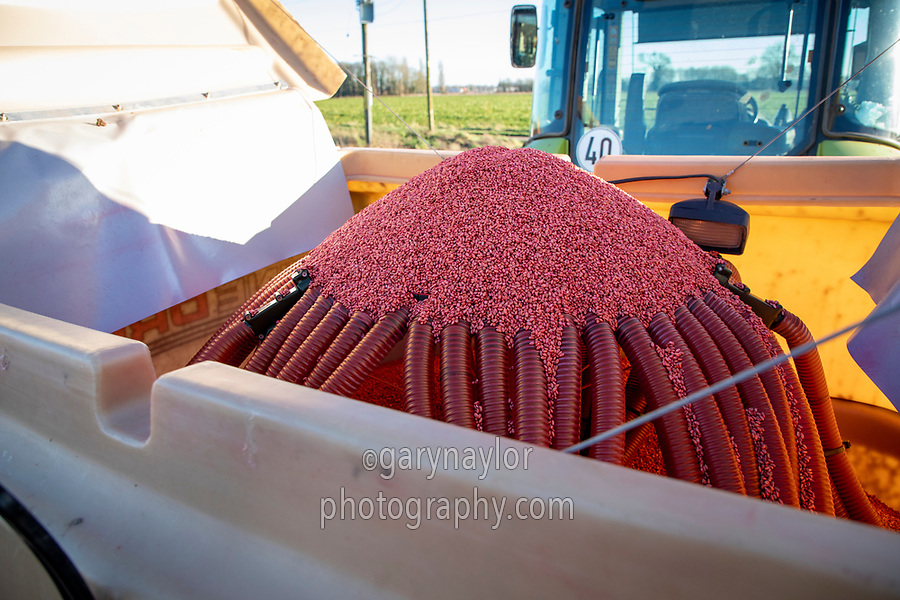 Dress wheat seed in drill hopper