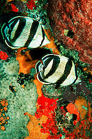 Underwater view of a pair of Butterfly fish in the Caribbean Sea.