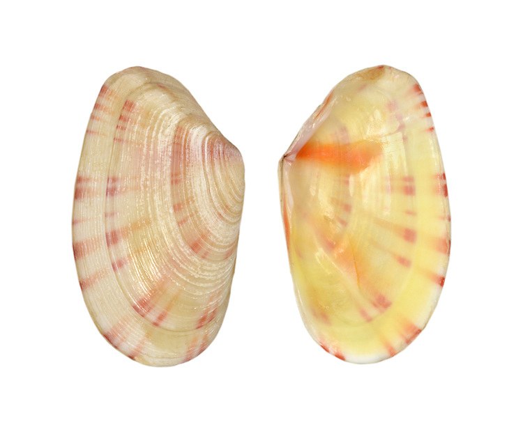 Moerella donacina Length to 15mm. Small, colourful bivalve mollusc. Lives in sand, mainly sublittoral. In Britain, commonest along S and W coasts.
