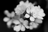 Spring Flowers, Ilford Delta Film, Irvine CA 2019
