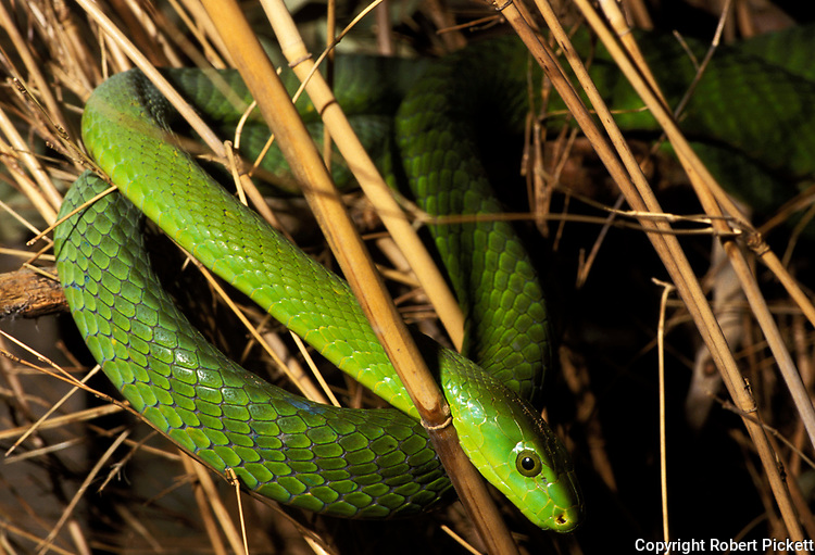 Green Mamba Snake, Dendroaspis angusticeps, curled around grass, captive, poisonous, venemous