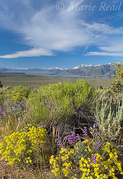 Lupine (Lupinus sp.) and Sulfur Flower (Eriogonum umbellatum) flowering in Sagebrush desert in June, Mono Lake Basin, California, USA