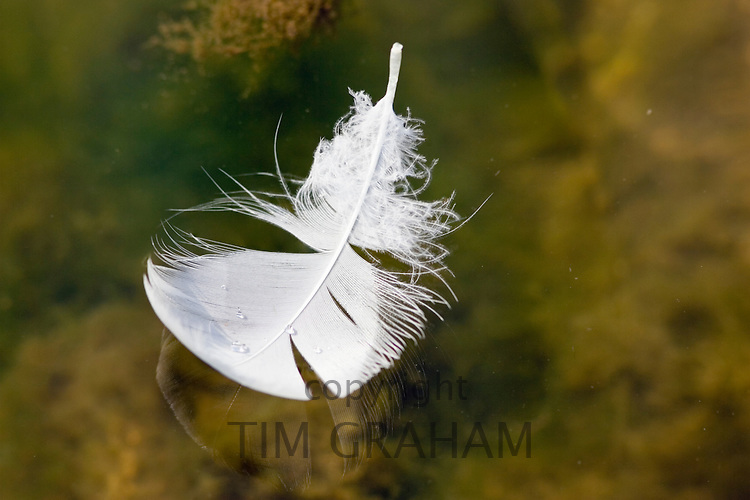 Swan feather floating on water, Donnington, Gloucestershire, United Kingdom