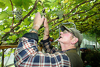 Estate workers take part in the annual grape picking iharvet at Renishaw Hall in Derbyshire. .Renishaw's vineyard was planted in the upper pasture in 1972.  Until 1986, the vineyard was certified as the most northerly in the world at  53 degrees 18 minutes North.