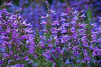 Penstemon heterophyllus 'Catherine de la Mare', California native wildflower, Kate Frey Garden