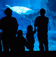Vancouver Aquarium, Stanley Park, Vancouver, BC, British Columbia, Canada - Family watching Beluga Whale (Delphinapterus leucas) - Silhouette
