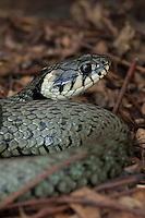 Ringelnatter, Portrait, Ringel-Natter, Natter, Natrix natrix, Grass Snake, Couleuvre á collier
