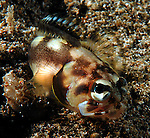 """unknown Jawfish;Here's a quote from Dr. Smith-Vaniz..opistognathus xxx <br /> """"Your jawfish is a species of the genus Stalix. I revised the genus in 1989 when I described four new species of the then 12 total known species. Since then about six more undescribed species have been collected and I am in the process of writing another paper treating all of them. I have seen a few other photographs of the Lembeh Straits Stalix, which is probably most closely related to S. histrio (described from Japan). So far I have only seen photographs of this fish and no specimens have been collected to allow a detailed comparison.<br /> <br /> William F. Smith-Vaniz, Ph.D.<br /> Research Associate<br /> Florida Museum of Natural History<br /> University of Florida"""" <br /> https://www.facebook.com/photo.php?fbid=4314049379581&set=gm.342799719139610&type=1&theater -But this was photographed at the Pier in Anilao on 4-29-12- butr supposedly comes from Lembeh."""
