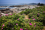Beach roses on Maine's rocky coast - Blueberry Hill on the Schoodic Peninsula, Acadia National Park, Downeast ME, USA