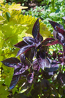 Purple basil Ocimum herb with Solenostemon Pineapple Queen coleus