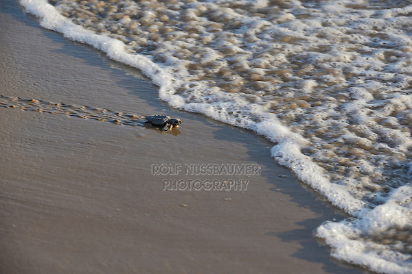 Kemp's ridley sea turtle (Lepidochelys kempii), baby turtles walking towards surf, South Padre Island, South Texas, USA