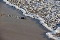 Kemp's ridley sea turtle (Lepidochelys kempii), baby turtles walking towards surf, South Padre Island, South Texas, USA