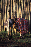 A woman milks her cow .<br /> <br /> A high stockade protects the Maasai cattle from  attack from Lions in the Laikipai region of Kenya.