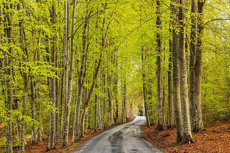 Vår med nyutslagna löv i bokskogen