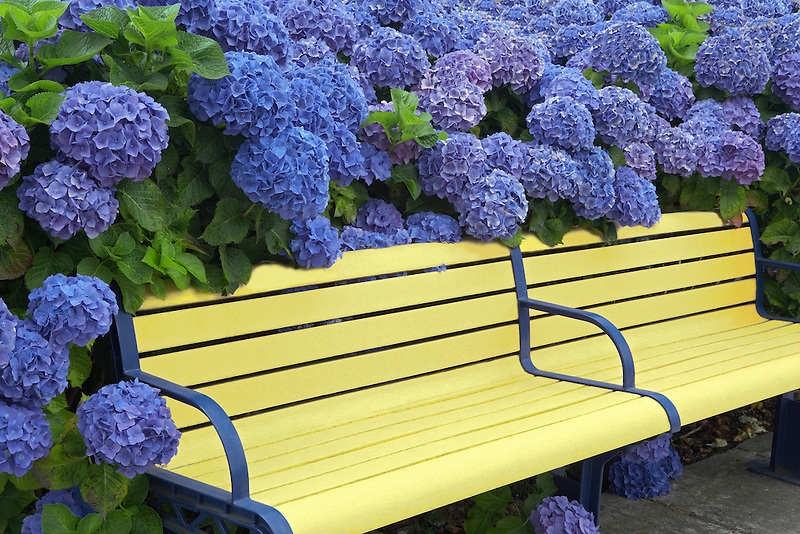 Bench surrounded with blooming Blue Bonnet hydrangea (Hydrangea macrophylla). Wilsonville, Oregon