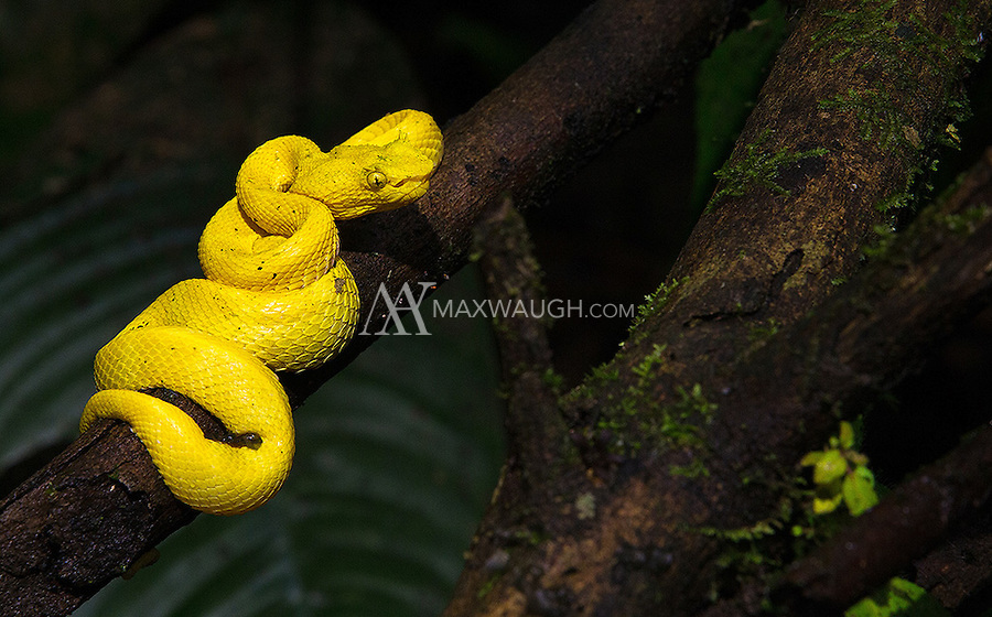 It was very exciting to see my first wild yellow-colored eyelash viper.  The previous examples of this species I've seen were dull brown or green.