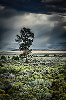 A lone ponderosa pine tree stands on a sage and chamisa covered plain, the distant Sangre de Cristo Mountains partially obscured by clouds and falling rain.