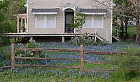 Texas Bluebonnet (Lupinus texensis), Hill Country, Texas, USA