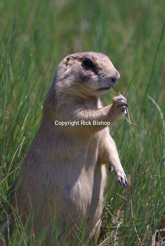 Utah Prairie Dog feeds on grass in southwest Utah's, Bryce National Park on a summer day.