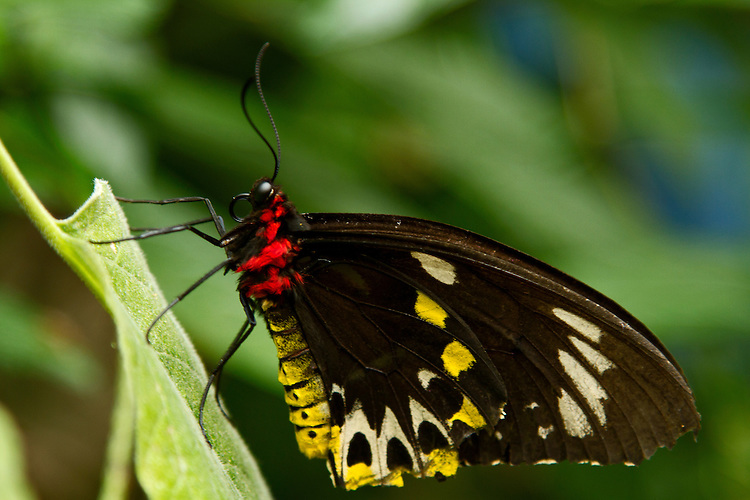 A female Cairn Birdwing (Ornithoptera euphorion), Australia's largest butterfly, on a light green leaf and sharply defined against a multi-green background.