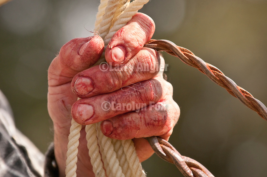 Branding and cattle marking at the Calaveritas Corral of the Joses family in Calaveras Co., Calif...Bloody hands on the lariat