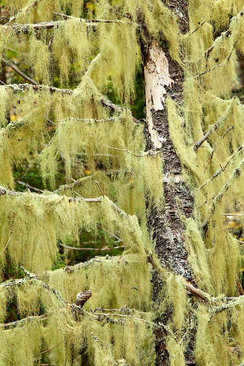Old Man's Beard lichen draps from an old tree on Isle au Haut in Acadia National Park, Maine, USA