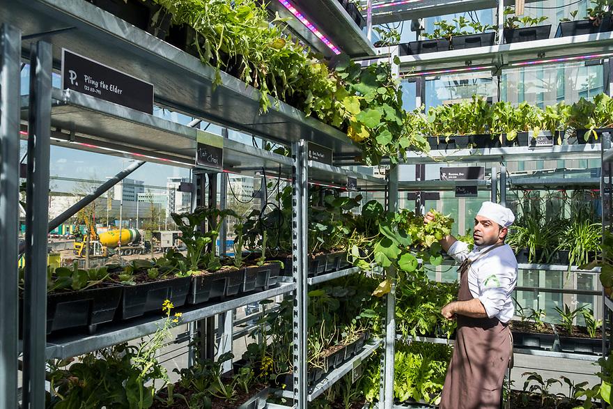 Nederland, Utrecht, 20180419<br /> The Green House, een duurzaam restaurant in Utrecht. Alle gebruikte materialen zijn gerecycled en op de bovenverdieping is een kas waar sla en kruiden worden geteeld. Dat scheelt een grote koeling en de klant krijgt iets dat heel erg vers is.<br /> Een kok is kruiden aan het oogsten.<br /> <br />  Foto: (c) Michiel Wijnbergh
