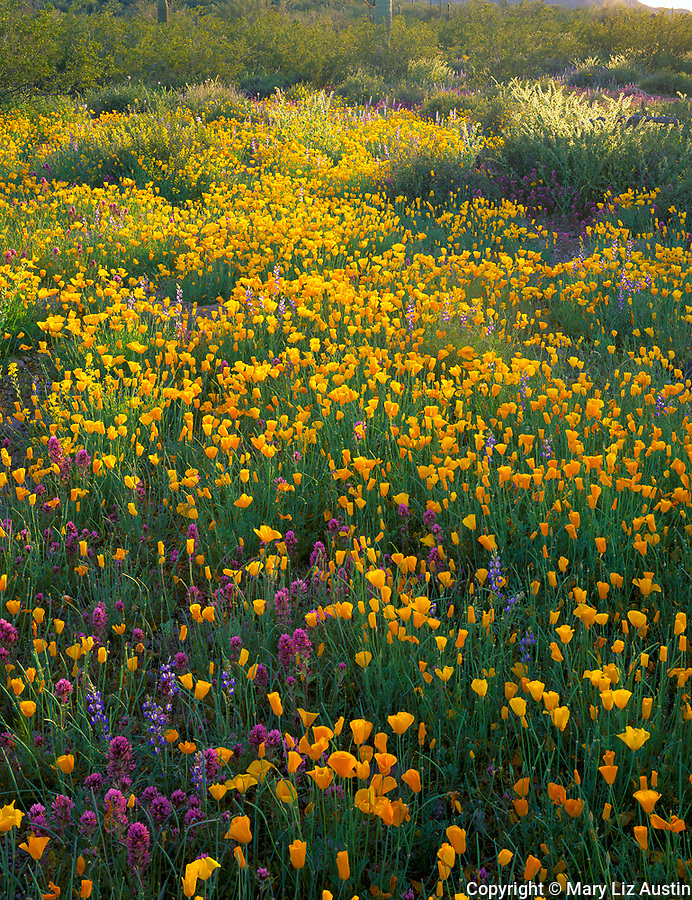 Organ Pipe Cactus Natl Mon, AZ <br /> Field of Poppies (Esch. californica) and desert wildflowers