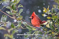 01530-206.14 Northern Cardinal (Cardinalis cardinalis) male in American Holly tree (Ilex opaca) in winter, Marion Co., IL