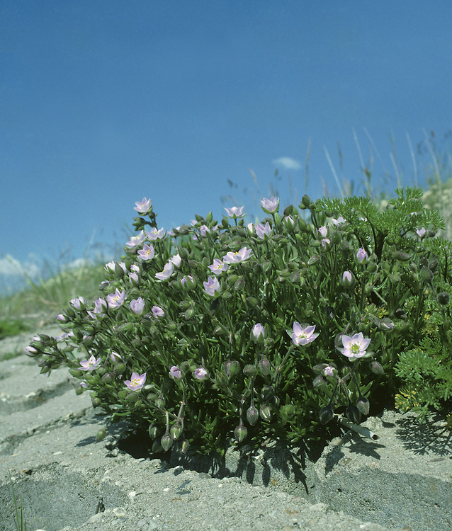 ROCK SEA-SPURREY Spergularia rupicola (Caryophyllaceae) Height to 20cm. Stickily hairy perennial, often with purplish stems. Found on cliffs and rocky places near the sea. Sometimes forms clumps with woody bases. FLOWERS are pink, 5-petalled (petals and sepals equal) and 8-10mm across (Jun-Sep). FRUITS are capsules. LEAVES are narrow, flattened and fleshy; borne in whorls. STATUS-Locally common in W.