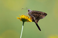 Plain Longtail Skipper