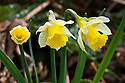 Wild daffodil or Lent lily (Narcissus pseudonarcissus 'Lobularis'), mid March.