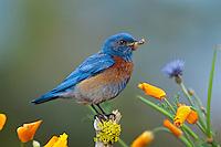 Male Western Bluebird (Sialia mexicana).  Western U.S., spring.