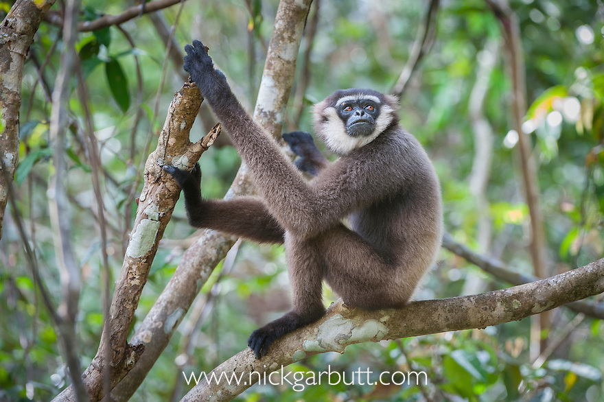 Adult Agile Gibbon (Hylobates agilis) resting in forest canopy. Tanjung Puting National Park, Kalimantan, Borneo.