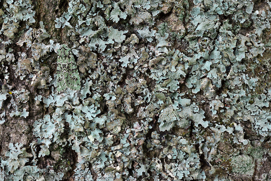Merveille-du-Jour moth {Dichonia aprilina}, camouflaged on lichen. The National Forest, Leicestershire, UK. September.