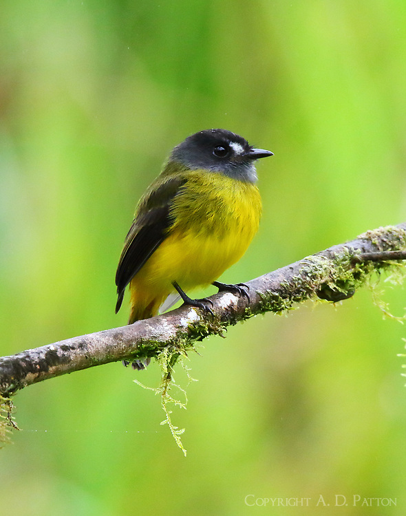 Ornate flycatcher