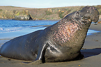 Large Male Northern Elephant Seal (Mirounga angustirostris) coming ashore.   California beach.