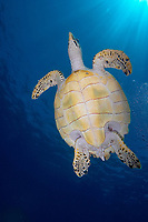 A Hawksbill turtle (Eretmochelys imbricata) against the sun burst, Crystal rock (Batu mandi), Gili Lawalaut, Komodo, Flores sea, Indian Ocean, Indonesia, Asia