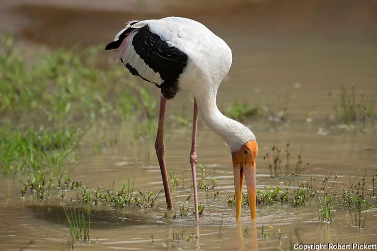 Painted Stork, Mycteria leucocephala, Wilpattu National Park, Sri Lanka, fishing at waters edge