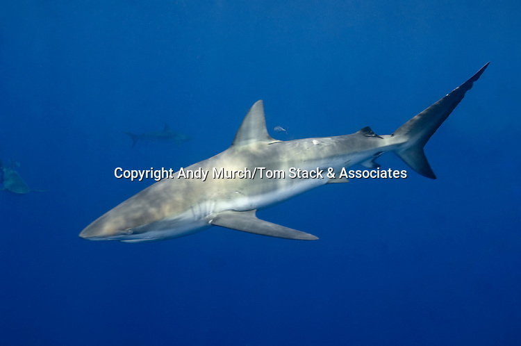Dusky Shark (Carcharhinus obscurus) in the Gulf of Mexico.
