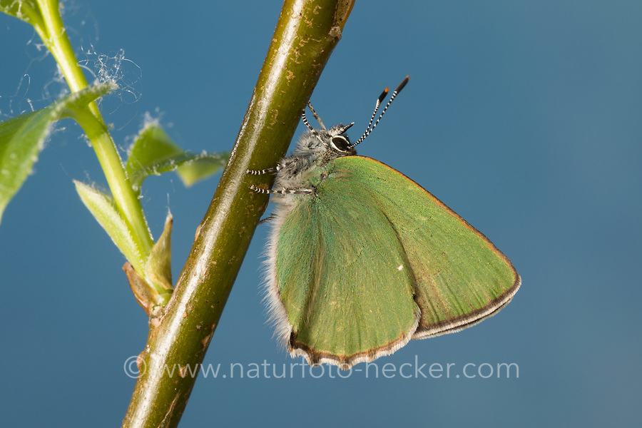 Grüner Zipfelfalter, Brombeer-Zipfelfalter, Brombeerzipfelfalter, Callophrys rubi, Green Hairstreak, La Thècle de la ronce, la Argus vert