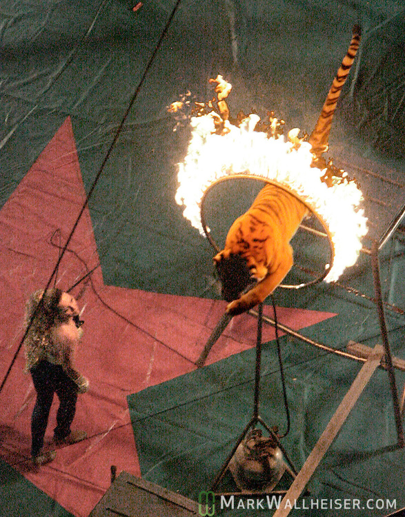 Tiger trainer Tammy Wallenda directs one of her Siberian tigers to jump through a ring of fire during the second show of the Clyde Beatty Circus at the Civic Center Sunday Jan. 21, 2007.The lines formed outside the Civic Center for the Clyde Beatty Circus in Tallahassee, Florida Jan. 21, 2007.  (Mark Wallheiser/TallahasseeStock.com)