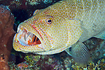 Tiger grouper being cleaned by Cayman cleaner goby, Grand Cayman