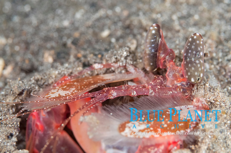 Tiger Mantis Shrimp, Lysiosquillina maculata, in hole, Mosque Muck dive site, near Reta Island, near Alor, Indonesia, Pacific Ocean