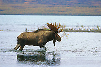 Bull moose walks through Brooks River, Naknek lake, Katmai National Park, Alaska