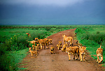 A pride full of lions of varying ages walk down a road in Serengeti National Park,Tanzania.