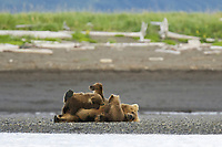 Corona and BooBoo suckle with Lady Hook. Kodiak grizzly bear (Ursus arctos middendorffi), Hallo Bay